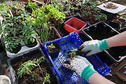 A pair of gloved hands in a greenhouse potting shed on a north Somerset farmstead. Pressing soft soil into small pots containing young tomato plants to be planted elsewhere, the anonymous person fills a tray of other growing items such as herbs and salads. The sunshine comes through the greenhouse glass allowing temperatures to stay even and favourable for fast growth.