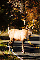 Elk in the Hoh River Rain Forest. Olympic National Park, WA