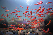 River Chub (With Tennessee Shiners)<br /> <br /> Isaac Szabo/Engbretson Underwater Photography