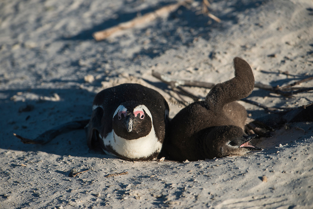 African penguin (Sphenisus demersus) sitting on nest with chick<br /> Situated near Simon's Town in False Bay between Fish Hoek and Cape Point.<br /> Western Cape<br /> SOUTH AFRICA