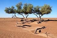 A group of Tamarisk trees (Tamarix articulata) in the Sahara desert against clear blue sky. .