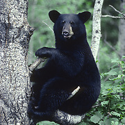 A yearling male black bear (Ursus americanus) finds refuge in the crook of a branch in a tree. Minnesota