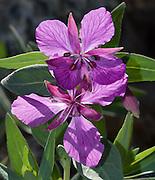 A pink flower of Dwarf fireweed (Myrtales Onagraceae Epilobium latifolium is the order family genus species) blooms in the Canadian Rocky Mountains, Jasper National Park, Alberta, Canada.