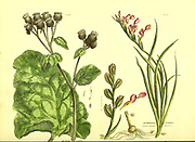 Arctuim Lappa, Antholyza cunonia [Scarlet-flowered Antholyza] from Vol 1 of the book The universal herbal : or botanical, medical and agricultural dictionary : containing an account of all known plants in the world, arranged according to the Linnean system. Specifying the uses to which they are or may be applied By Thomas Green,  Published in 1816 by Nuttall, Fisher & Co. in Liverpool and Printed at the Caxton Press by H. Fisher
