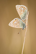 A pair of common blue butterflies settle in for the night. Dorset, UK.
