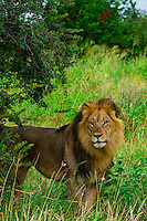 A male lion in the  Linyanti Marshes,  Kwando Concession, Botswana.
