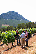 Yves Orliac, son of Jean and Marie-Therese Orliac Domaine de l'Hortus. The Pic St Loup mountain top peak. Pic St Loup. Languedoc. Mourvedre vines facing south. Owner winemaker. France. Europe.