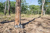 Slash and burn clearing on the edges of a Miombo woodland, Panda, Inhambane Province, Mozambique