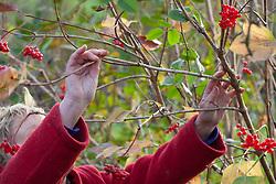 Taking hardwood cuttings from Viburnum opulus. Guelder rose