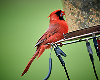 Northern Cardinal. Image taken with a Nikon D5 camera and 600 mm f/4 VR telephoto lens (ISO 1600, 600 mm, f/4, 1/1250 sec).