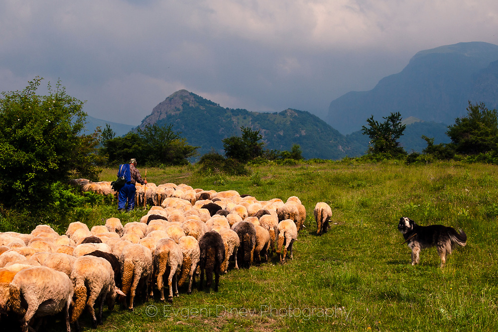 A flock of sheep guided from a shepherd and his dog in the mountain
