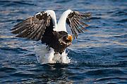 A Steller's sea eagle (Haliaeetus pelagius) in flight catching a fish on the ocean surface, Raisa, Hokkaido, Japan