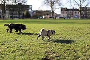 Alfie the pug and Henry the cocker spaniel potter about the local park in the afternoon sunshine