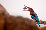 White-throated Kingfisher (Halcyon smyrnensis) with a tortoise in its beak, Negev, Israel