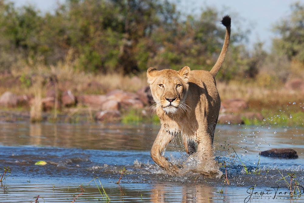A lioness walking in the water (Panthera leo), Kalahari Desert, Botswana Africa