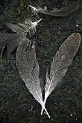 Raindrops accumulate on feathers at the Washington Park Arboretum. (Erika Schultz / The Seattle Times)