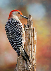 A Red-Bellied Woodpecker stopped by for a quick click