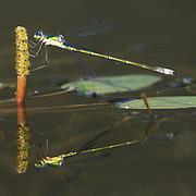 Damselfly hanging onto a waterlily stem. Northern Minnesota