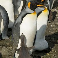 A King Penguin chick embraces its parent amidst a huge rookery  at Salisbury Plain, South Georgia, Antarctica.