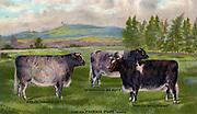 Prizewinning Shorthorn heffers, c1890.