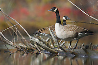 Canada geese (Branta canadensis) standing on top of a downed log.