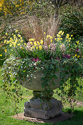 Stone urn container with Carex buchananii syn. Carex 'Buchanni', Skimmia japonica 'Rubella', Erica carnea 'Rosalie', Hedera helix and Narcissus 'Sabrosa'.