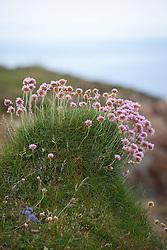 Thrift, Sea Pink on cliffs at The Lizard peninsula, Cornwall. Armeria maritima