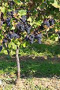 pinot noir vineyard domaine g humbrecht pfaffenheim alsace france