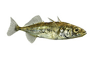 Three-spined Stickleback Gasterosteus aculeatus Length 4-7cm<br /> This 'tiddler' is a familiar resident of streams and brackish water, recognised at all times by the 3 dorsal spines; it is silvery for most of the year but, in the breeding season, the male acquires a red belly and bluish dorsal sheen.