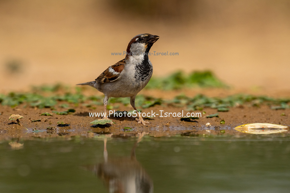 Male house sparrow (Passer domesticus) near water. Photographed in Israel in May