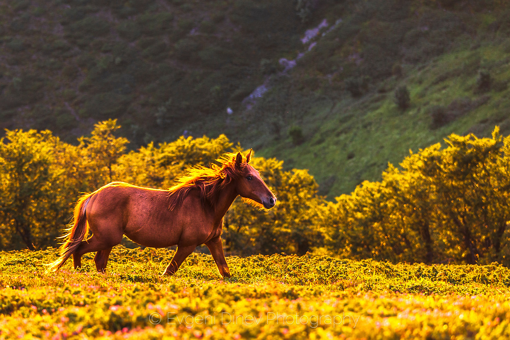 Brown stallion is running in the mountain