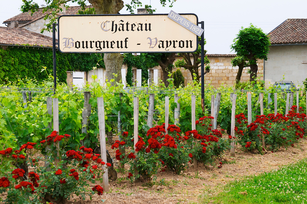 Chateau Bourgneuf Vayron, since 1821, vineyard with intensely red rose bushes Pomerol Bordeaux Gironde Aquitaine France