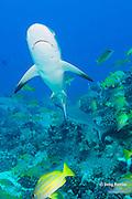 juvenile gray reef sharks, Carcharhinus amblyrhynchos, and bluestripe snapper or taape, Lutjanus kasmira, Mahaiula, North Kona, Hawaii (the Big Island),  United States ( Central North Pacific Ocean )