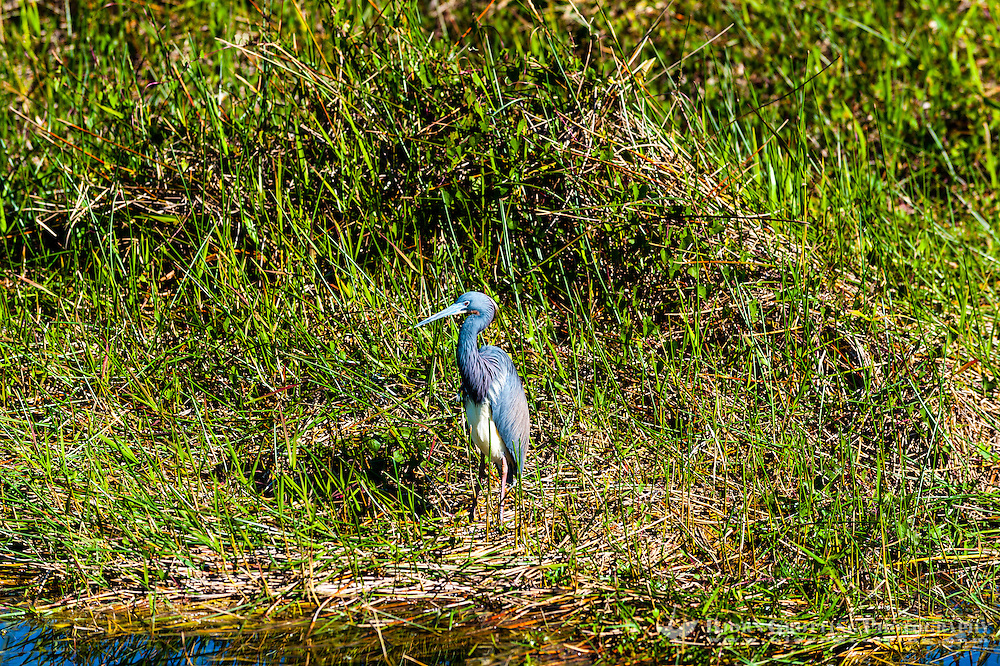 US, Florida, Everglades. Anhinga Trail Boardwalk. Tricolored Heron.