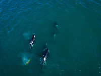 Aerial view of group or Orca in Kamchatka Peninsula, Bering sea, Russia