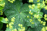 Alchemilla vulgaris and Alchemilla xanthochlora, Dewcup, Hairy Mantle, Lion's Foot, Bear's Foot, Nine Hooks, Leontopodium, and Stellaria. - - - <br /> <br /> - from Wikipedia
