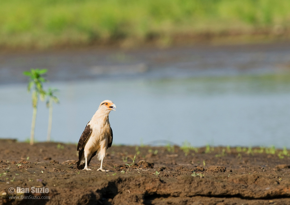 Yellow-headed caracara, Milvago chimachima. Tarcoles River, Costa Rica