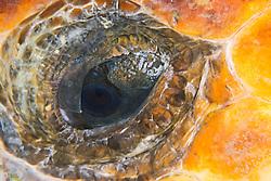 Eye of Loggerhead Sea Turtle, Caretta caretta, West End, Bahamas, Caribbean, Atlantic Ocean