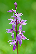 Early Purple Orchid, Orchis mascula, Park Gate Down, Kent, UK - Kent Wildlife Trust