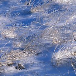 Kennebunk, ME. Ice coats the beach grass on Parson's Beach.