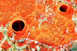 red boring sponge, .Cliona delitrix, Key Largo, .Florida Keys National Marine .Sanctuary (Atlantic)