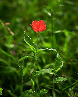Poppy. Image taken with a Nikon D850 camera and 60 mm f/2.8 macro lens