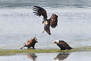 A Mature Bald Eagle suffers a collision with and then scolds its offspring at the shore of the Hood Canal of Puget Sound, Washington state, USA.
