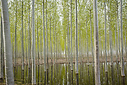Spring leaves on trees in plantation reflected in water