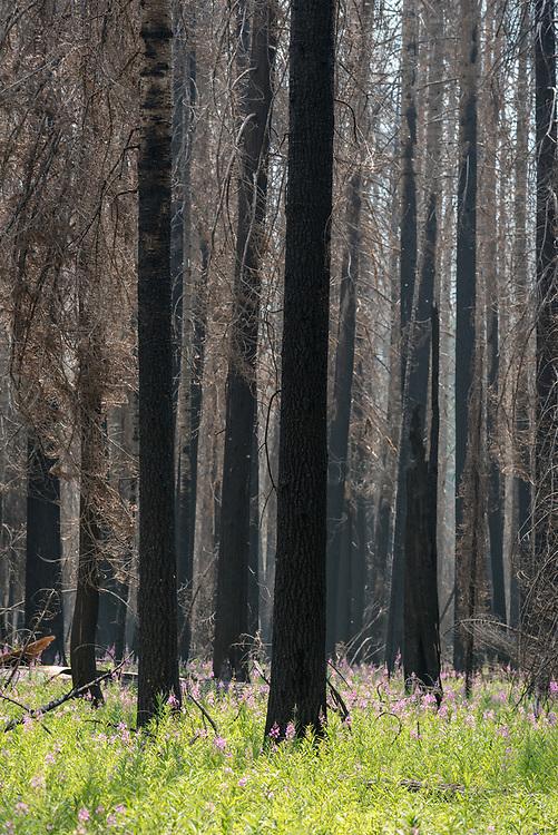Fireweed in bloom in a burnt forest along Moose Creek in Idaho's Selway-Bitterroot Wilderness.