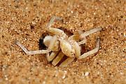 Die Afrikanische Radspinne (Carparachne aureoflava), eine Dünenspinne die zur Familie der Riesenkrabbenspinnen gehört, gräbt eine bis zu 50 cm tiefe Höhle in den Dünenhang. In rhythmischen Arbeitsbewegungen wird zunächst mit einer Körperseite Sand zum Ausgang befördert, der dann schwungvoll mit den Beinen der selben Seite weggeschleudert wird. Später wird die gleiche Bewegung mit der anderen Körperseite ausgeführt. Zwischendurch wird das neu entstandene Tunnelstück durch Andrücken des Hinterleibs sorgfältig mit Spinnfäden stabilisiert. Wird die Spinne ausgebuddelt oder bei einem Jagdausflug auf offener Sandfläche bedroht, flieht sie auf eine im Tierreich einmalige Art und Weise: Aus vollem Lauf wirft sie sich auf die Seite und winkelt alle Beine so an, dass ein perfektes Rad entsteht, das mit einer Geschwindigkeit von ca. 1 m pro Sekunde den steilen Dünenhang hinabrollt. Dabei dreht die Spinne sich etwa 20 mal in der Sekunde um die eigene Achse. |Wheel Spider (Carparachne aureoflava) The Golden Wheel Spider (Carparachne aureoflava) istruly a unique and amazing creature of the beautiful NamibDesert. It builds burrows that extend 40 ? 50cm deep into thesand dunes. The burrow generally gives it sufficient shelterfrom its predators and especially its archenemy: Pompilidwasps. However, sometimes their burrow collapses and theyhave to build a new one, which can take a few days. The newburrows are initially not very deep and this is the time for thewasp to attack. They go into the burrow to inspect the size ofthe spider. The spider can fight them off in the burrow but thenthe wasp begins to dig a hole towards the end of the burrow.The wasp is able to shift 10 litres of sand or up to 80,000times its own body weight during this process. The spider,now exposed to the wasp, has two alternatives. If it is on asteep sand dune, it makes itself into a ball and rolls down theslope with a speed of 1 m/s and about 20 rotations per sec-ond. The wasp is unable to follow the spider and