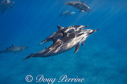 Hawaiian spinner dolphins or Gray's spinner dolphin, Stenella longirostris longirostris, in rest mode, Ho'okena, South Kona, Hawaii ( the Big Island ), USA ( Central Pacific Ocean )