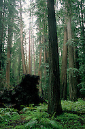 Redwood forest, Montgomery Woods State Reserve, Mendocino County, California