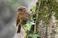 European Robin - Erithacus rubecula - juvenile