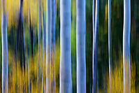 Beautiful fall color graces the aspen forest in the San Juan Mountains of Colorado.